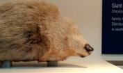 The giant mole.